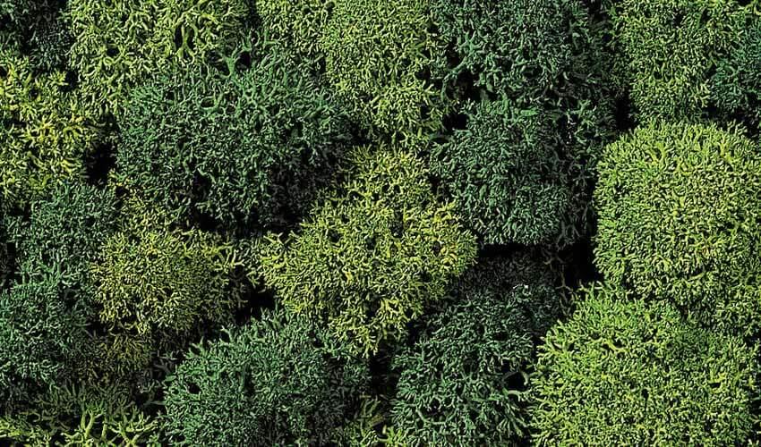 lichen light dark green basing terrain